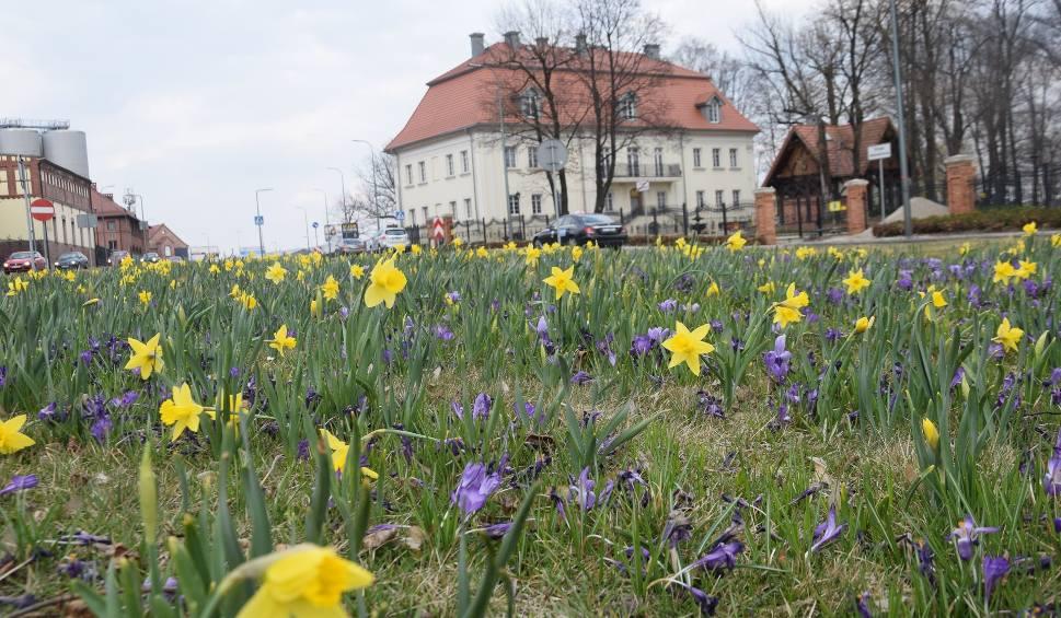 Film do artykułu: Wiosna 2020 w Tychach. Do oglądania przez okno: pierwiosnki, tulipany, forsycje i fiołki. Zobaczcie na zdjęciach, jak jest pięknie