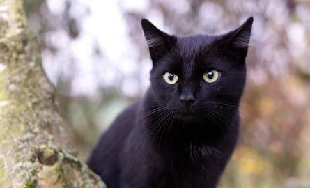 Czy uda się odczarować domowego mruczka o czarnym futerku? Dzień czarnego kota czyli jak Włosi od dwunastu lat walczą z przesądami.