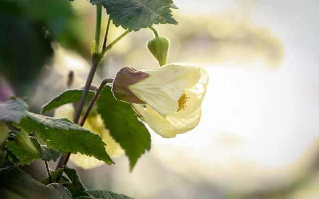 Zaślaz przypomina hibiskusy - należą one do tej samej rodziny roślin malwowatych. Zaliczają się do niej także ogrodowe malwy (również podobieństwa do