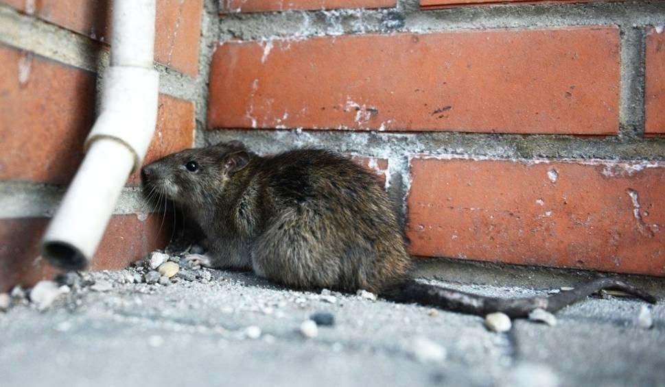 Film do artykułu: Szczury w Sosnowcu opanowały centrum i nie boją się ludzi. Gryzonie biegają przy urzędzie w biały dzień i gonią się z psami
