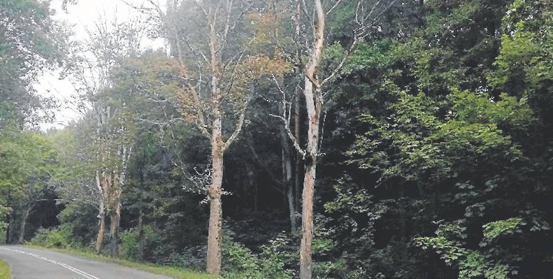 Suche drzewa stoją tuż przy ulicy. Stanowią poważne zagrożenie dla kierowców