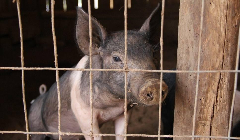 Film do artykułu: W związku z zagrożeniem ASF zwiększenie kontroli transportu żywych świń, zwalczanie kłusownictwa, kontrola restauracji i targowisk