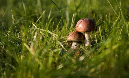 Sezon grzybowy w regionie. Przestrogi dla początkujących grzybiarzy