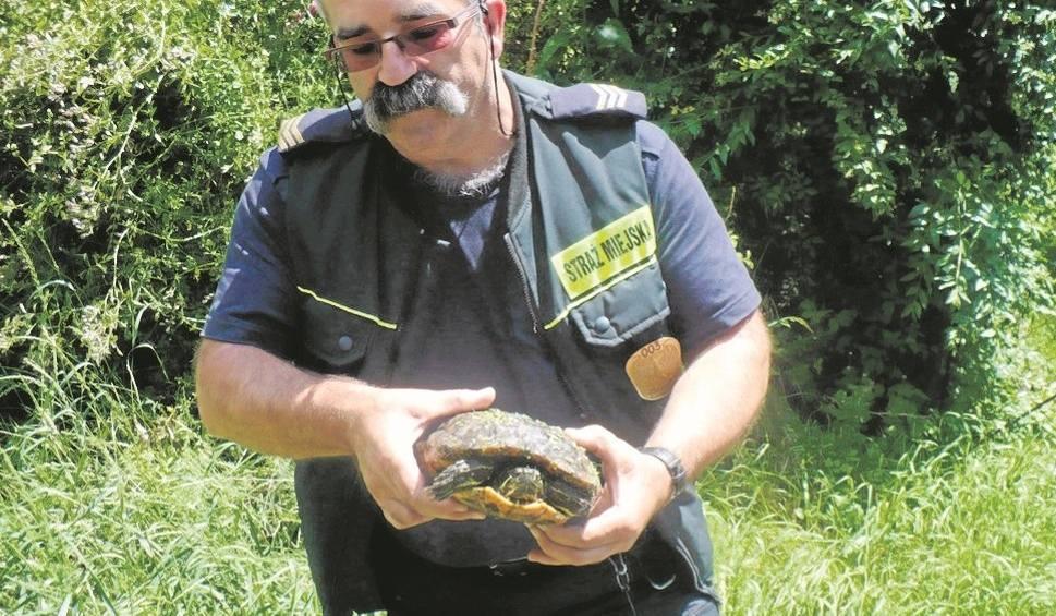 Film do artykułu: Na Opolszczyźnie inwazja niechcianych żółwi czerwonolicych