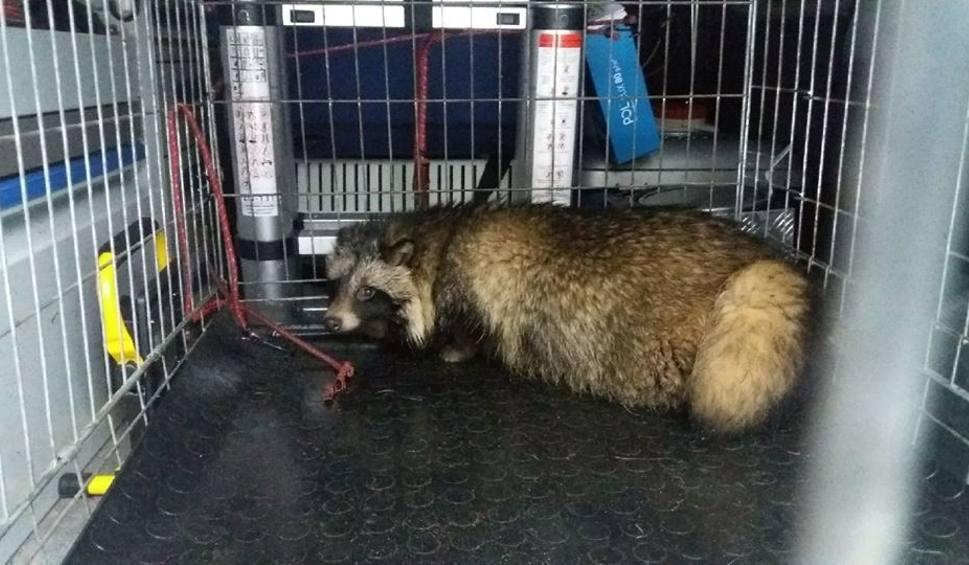 Poznań Jenot Biegał Po Ulicy Głogowskiej Złapali Go Strażnicy
