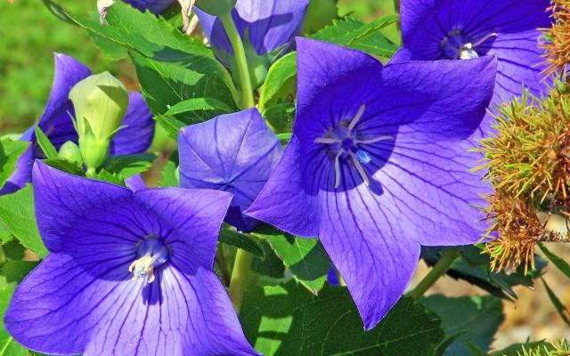 Rozwar wielkokwiatowy (Platycodon grandiflorus) osiąga zwykle 50-70 cm wysokości. Jego kwiaty wyrastają na szczycie pędów i mają dzwonkowaty kształt