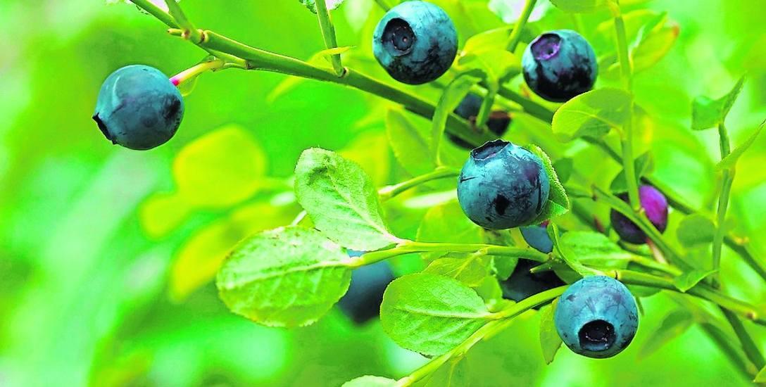 Bąblowicy możemy się nabawić poprzez jedzenie niemytych owoców