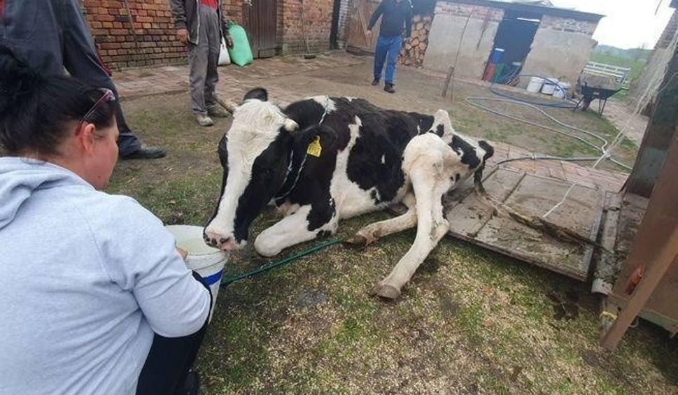 Film do artykułu: LUBUSKIE Właściciel skazał krowę na śmierć. Zagłodzona, odwodniona, połamana, leżała obok sterty śmieci. Potrzebna pomoc!