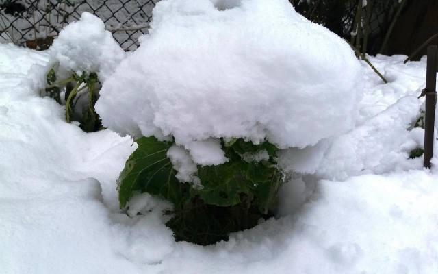 """Brukselka spod śniegu smakuje bardzo dobrze (po przemrożeniu """"kapustki"""" są słodkie i delikatne)."""