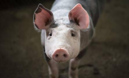 Branża mięsna szykuje się na najgorsze i łączy siły. Chodzi o walkę z ASF