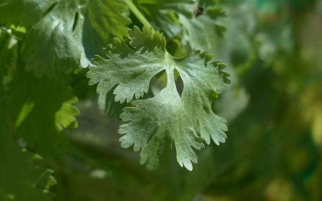 Kolendrę uprawia się na świeże liście oraz nasiona. Jedne i drugie są smaczne i aromatyczne, ale mają nieco odmienny smak i zapach.