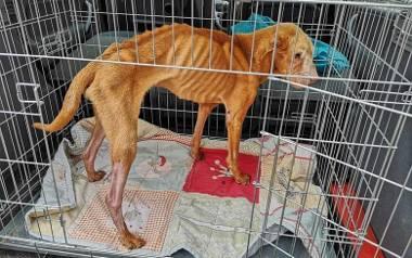 Bobik, gdy został odebrany od właściciela ważył zaledwie 7 kilogramów
