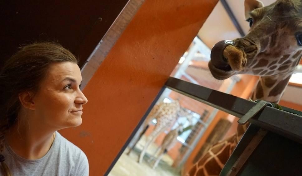 Film do artykułu: TU BYŁAM odc. 16. Kasia Kapusta zaopiekowała się żyrafami z chorzowskiego zoo [WIDEO]