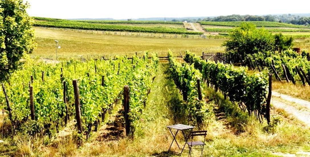 Na 35 hektarowej winnicy samorządowej gospodaruje kilkunastu winiarzy