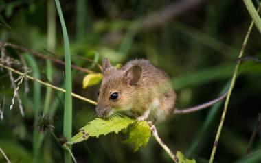 Alarm! Na południu Opolszczyzny plony zjadają nam myszy