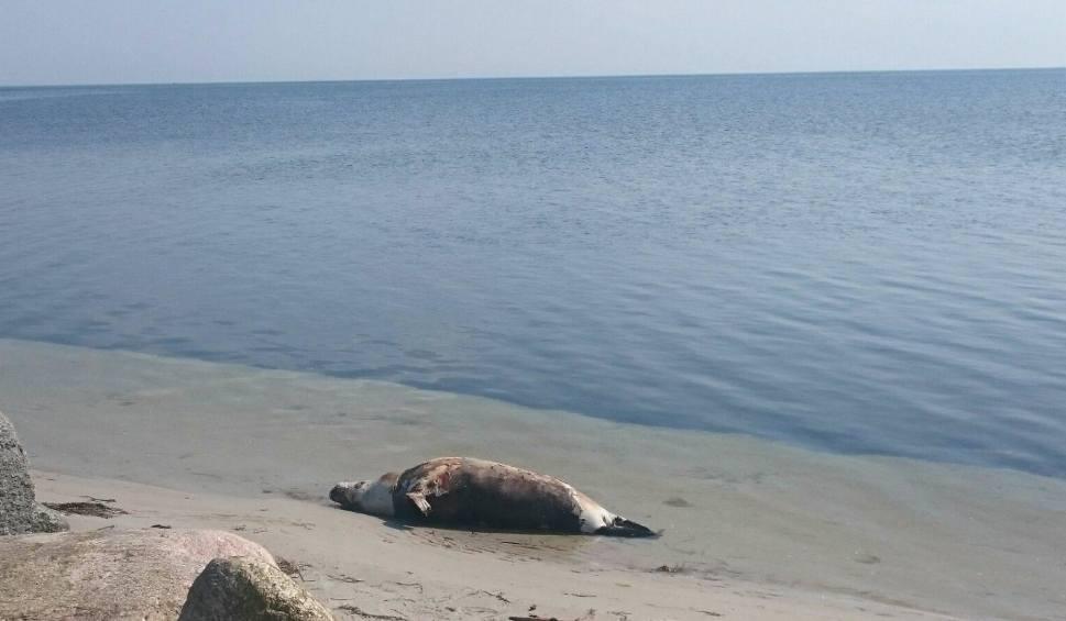 Film do artykułu: Martwa foka na plaży w Kuźnicy. Zatoka Pucka wyrzuciła na piasek ciało morskiego ssaka. Był chory? | DRASTYCZNE ZDJĘCIA