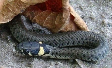 Na ulicy Kociewskiej w budynku jednej z firm wąż miał zaatakować pracownika ochrony. Na miejscu strażnik eko-patrolu znalazł pod fotelem metrowego zaskrońca.