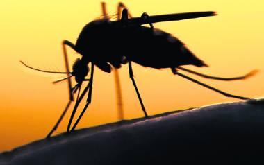 Komarzyce przyciąga do nas dwutlenek węgla zawarty w naszym oddechu oraz kwas moczowy znajdujący się w pocie. Podobno wolą też blondynki, ale nie udowodniono