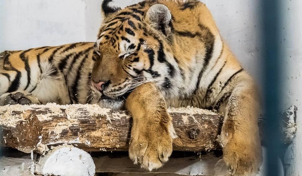 Film do artykułu: Tygrysy przebywające w Canpolu mają się coraz lepiej. Powoli zaczynają odkrywać, że istnieje życie poza klatką, bez bólu