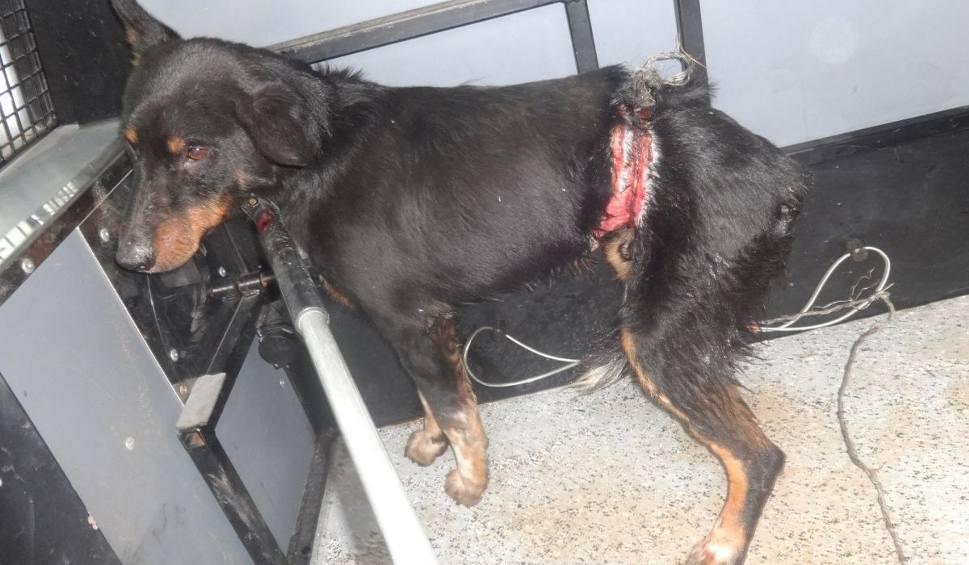 Film do artykułu: Tarnobrzeg. W sidła kłusownika złapał się pies. Jest mocno poraniony!