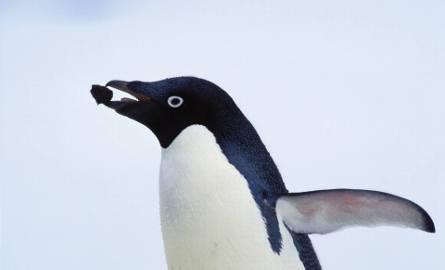 Pingwiny biłookie
