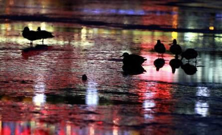 Stado kaczek i łabędzi pod Wawelem  [ZDJĘCIA]