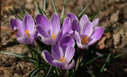 Wiosna zawitała do osiedlowych ogródków na przemyskich osiedlach [ZDJĘCIA]