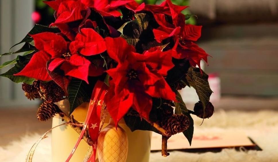 Film do artykułu: Dzień Poinsecji czyli Gwiazdy Betlejemskiej. Skąd trafił do nas ten piękny kwiat, jak narodziła się tradycja? Zobacz inspiracje (ZDJĘCIA)