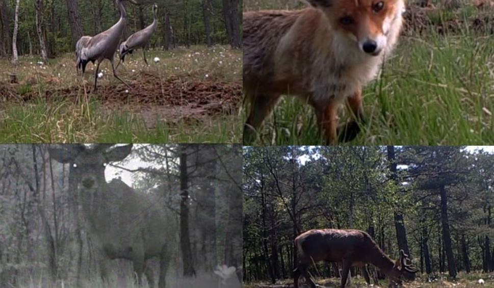 Film do artykułu: Podglądamy mieszkańców lasu. Wideo z fotopułapki