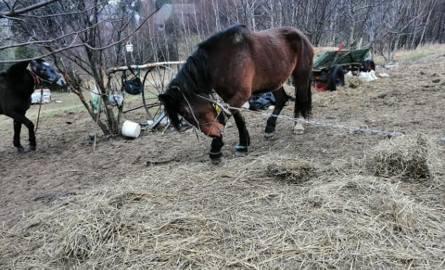 Jerzmanowice. Hodowcy odebrano sześć koni. Trzymał je w skandalicznych warunkach. Były pętane łańcuchami, stały bez dachu nad głową