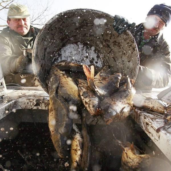 Trwa świąteczne odławianie karpia, wkrótce ryba trafi na nasze stoły [GALERIA]
