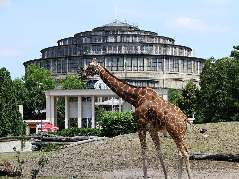 Żyrafa na tle obecnego wejścia i Hali Stulecia