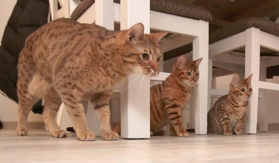 Szczecińska Hodowla Toygerów Kotów Które Wyglądają Jak Tygrysy