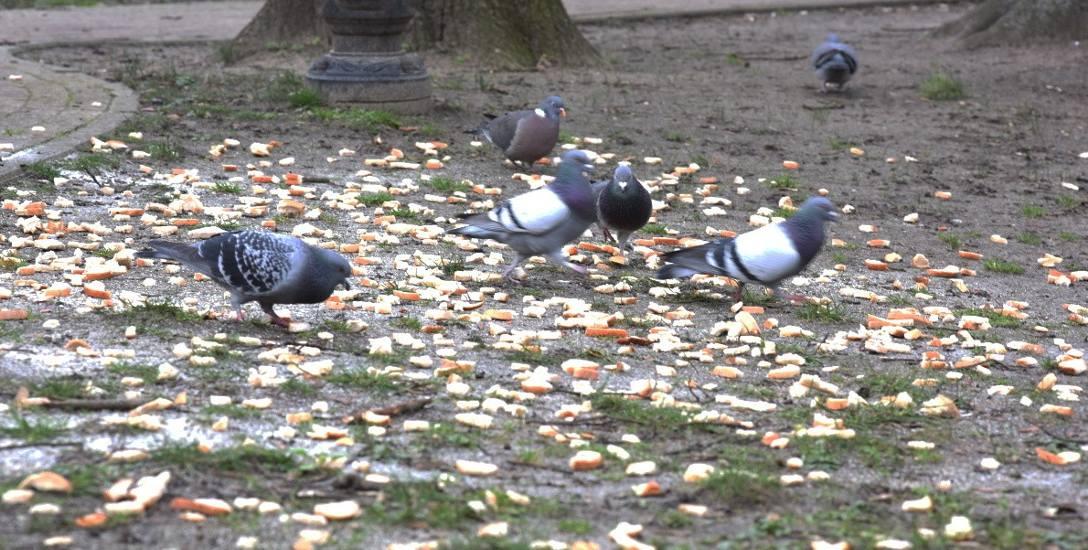 Ktoś wysypuje chleb dla ptaków na jednym ze skwerów w Zielonej Górze. Ten zaczyna pleśnieć i robi się z tego realny kłopot.