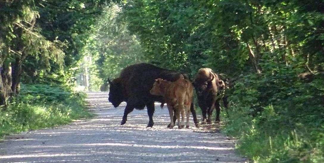 """Byk bydła domowego - a według leśników """"mniejszy żubr"""" - którego w towarzystwie dorosłych żubrów z Puszczy Augustowskiej sfotografował przyrodnik i ekolog"""
