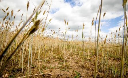 Mimo ostatnich opadów i zapowiadanych w najbliższym czasie gleba w naszym województwie jest rekordowo przesuszona. Rolnicy już liczą straty