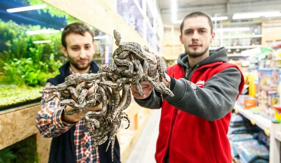 Film do artykułu: Pracownicy sklepu zoologicznego w Rzeszowie rozmnożyli boa dusiciela