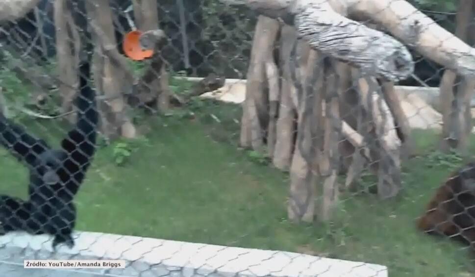 Film do artykułu: Orangutan wściekł się na zaczepiające go małpy [wideo]