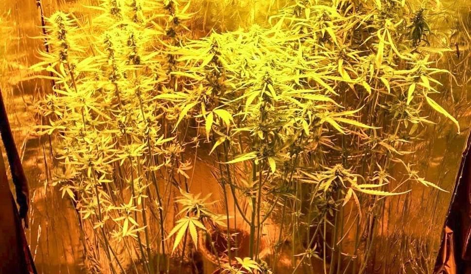 Film do artykułu: LUBUSKIE 21-latek uprawiał krzaki marihuany w swoim mieszkaniu. Grozi mu do 10 lat więzienia [ZDJĘCIA]