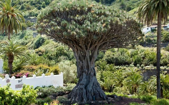 W naturze dracena smocza rośnie na Wyspach Kanaryjskich i na Maderze. Osiąga spore rozmiary, ale rośnie bardzo wolno.