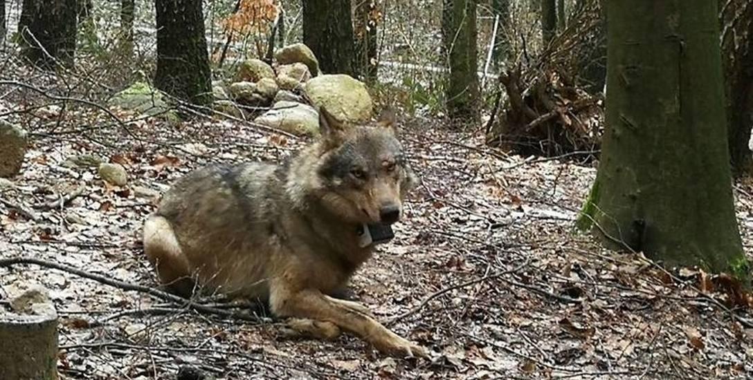 Płoszenie wilków. Opolskie gminy powinny przygotować specjalne procedury