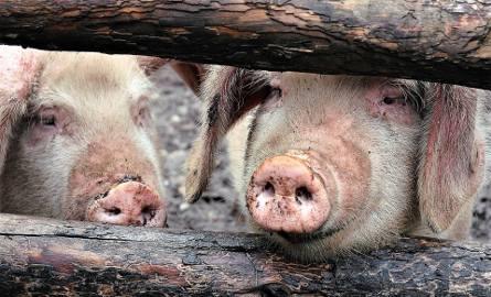 Ministerstwo rolnictwa w ramach walki z ASF chce wybudować w Bielsku Podlaskim ubojnię przerośniętych świń
