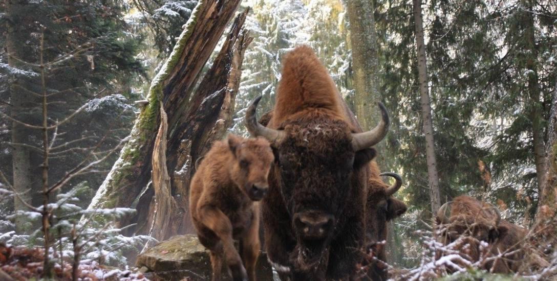 Żubr to jeden z najbardziej rozpoznawalnych symboli naszego kraju na świecie. Polska ma największy udział w ratowaniu gatunku. Ich powrót w Bieszczady