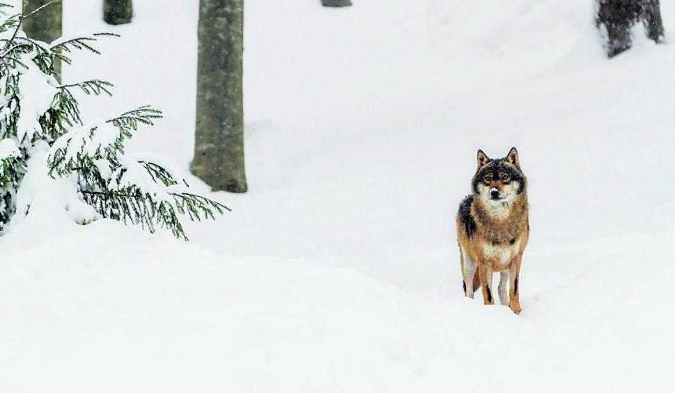 Film do artykułu: Białowieża. Wilki spacerują po ulicach. Mieszkańcy boją się wychodzić z domów. A gmina prosi o odstrzał