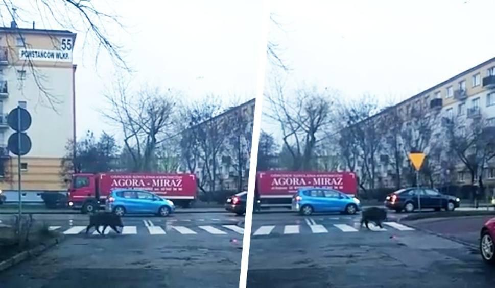 Film do artykułu: Dzik w Bydgoszczy. Służby próbowały go odłowić, ale się nie udało. Gdzie jest teraz? [12 grudnia 2018]