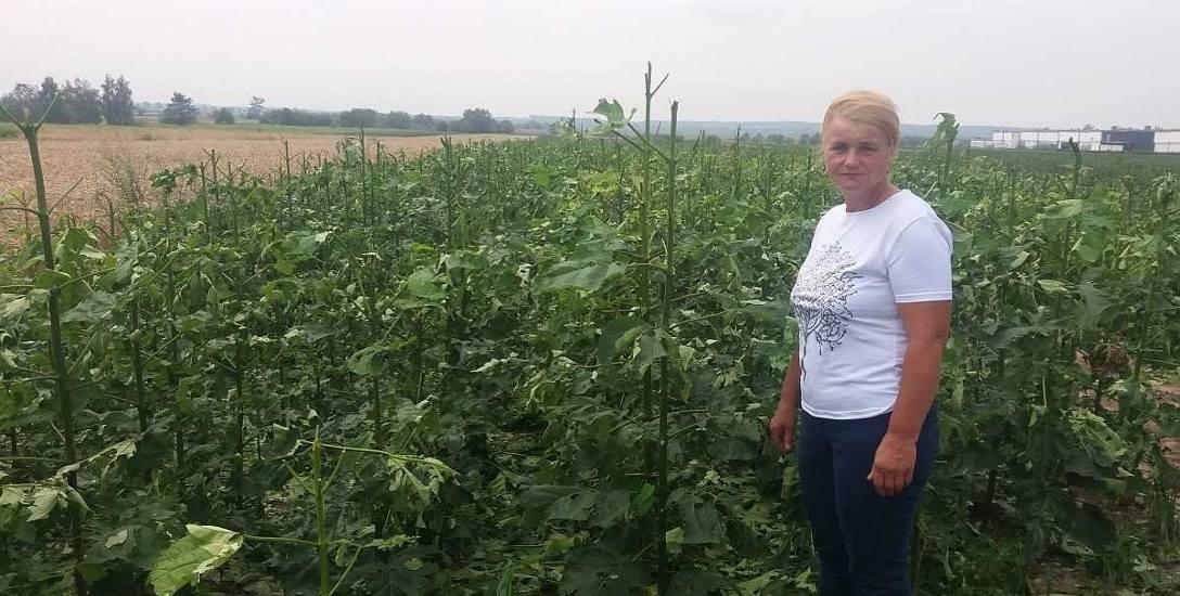 Pani Maria Kozak przy szkółkarskiej plantacji katalpy. Podobnie jak i u innych rolników z gm. Końskowola, straty będą tu bardzo wysokie. Wstępne szacunki