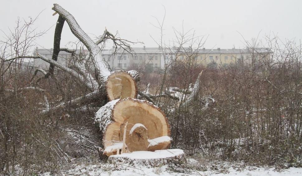Film do artykułu: Wycinają drzewa pod budowę ulicy Pileckiego w Kielcach (ZDJĘCIA)