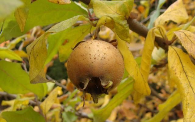 Owoce nieszpułki długo utrzymują się na drzewach. Jeszcze w połowie listopada można je zbierać.