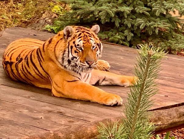 Tygrysy uratowane z transportu nabierają sił w podczłuchowskim zoo Canpol. Zdjęcia ze strony https://www.facebook.com/canpol.odejewski