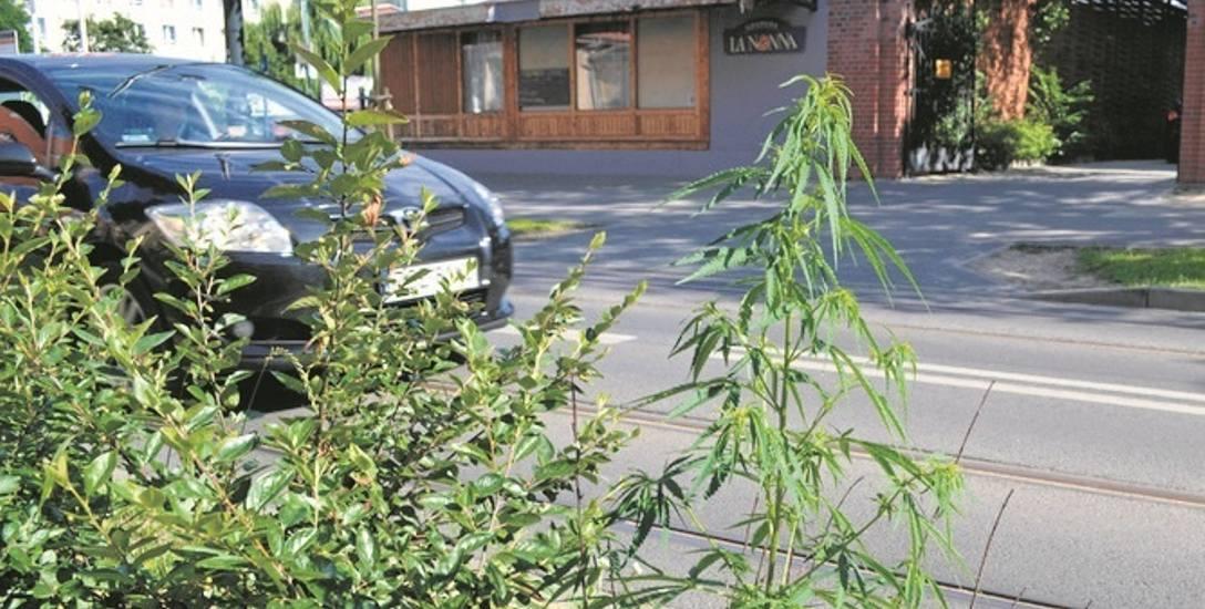 Krzaczek konopi indyjskich rósł sobie przy ul. Chodkiewicza w Bydgoszczy. Policja już go zniszczyła.